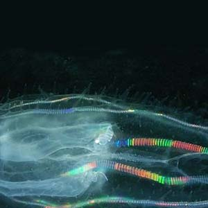 Rainbow Glow Comb Jelly