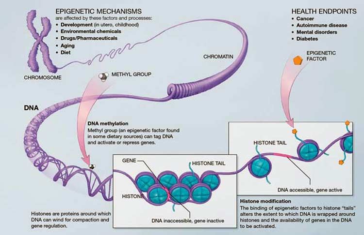 A Scientific Illustration of How Epigenetic Mechanisms Can Affect Health