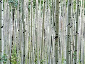 Aspen Grove near Aspen, Colorado