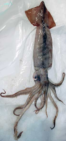 Arrow Squid
