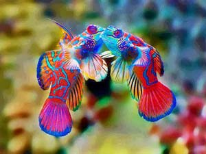 Mandarinfish Kisses