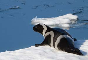 Ribbon Seals Live There