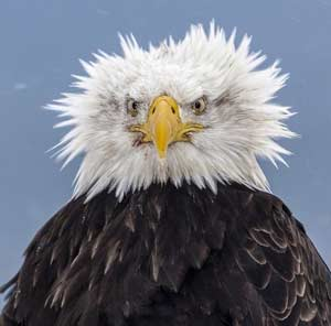 Bald Eagles When They Still Had Hair