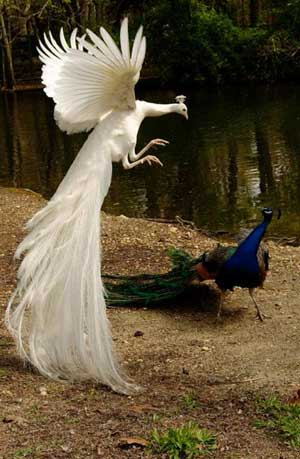 Arguing Peacocks