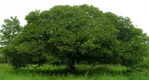A Single Cashew Tree