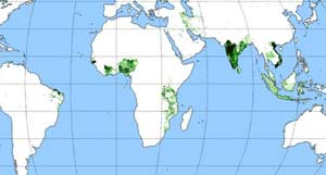 Where Cashews Are Grown