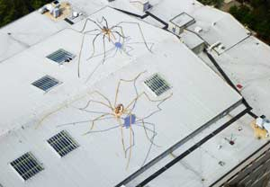 Giant Harvestmen Spotted in Seattle