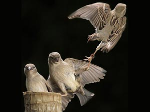 KungFu Sparrows
