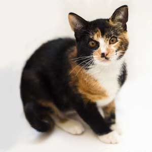 This Is a Male Calico Cat