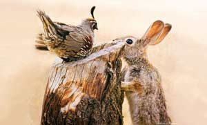 Cottontail Rabbit and Gambel's Quail