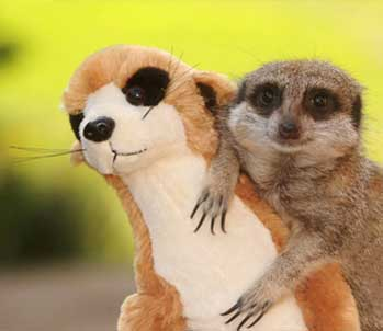 Meerkat and Stuffed Toy