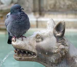 Pigeon and Wolf