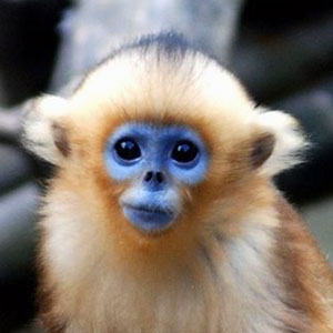 Blue-Faced Snub-Nosed Monkey