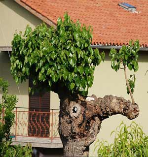 Croatian Tree with Nose Wart