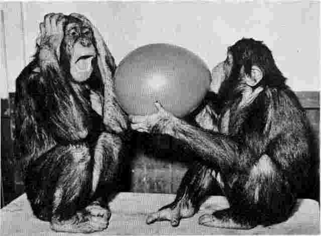 Two chimps, one of which has clearly had prior experience with a popped balloon