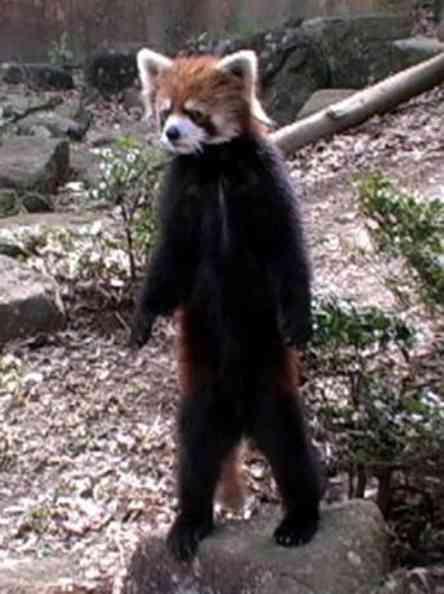 Lesser Pandas, Raccoons, Skunks, Weasels