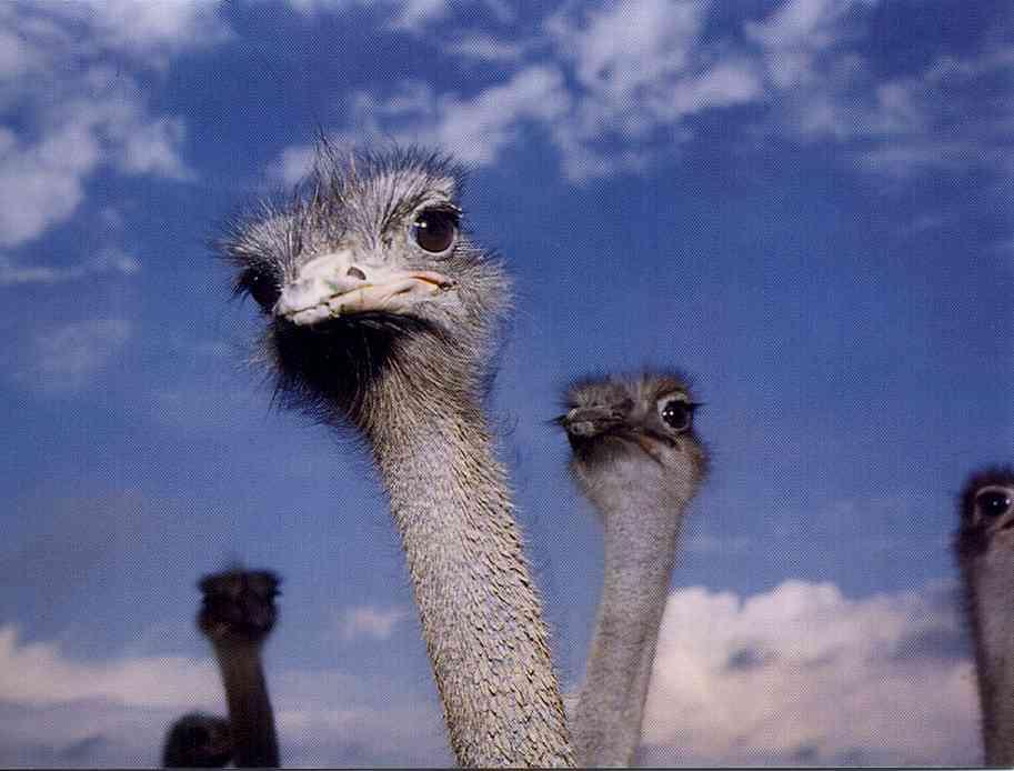Kiwi egg vs ostrich egg - photo#49