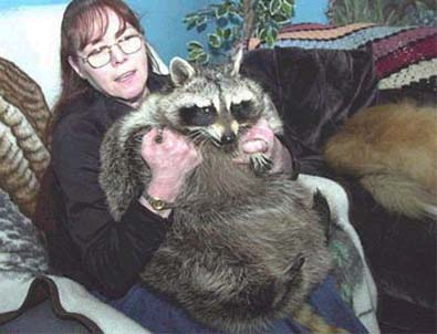 Lesser Pandas, Raccoons, Skunks, WeaselsLesser PandaOne of My Favourite Mammals