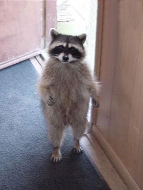 Lesser Pandas Raccoons Skunks Weasels