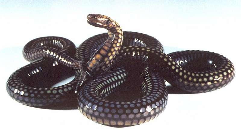 Snake, The - The Snake