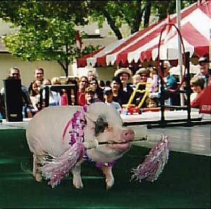 Nelly, the Performing Pig