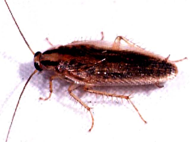 Digestion In Cockroach
