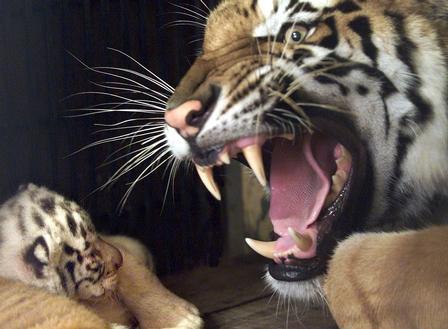 Tiger Roaring transparent PNG  StickPNG