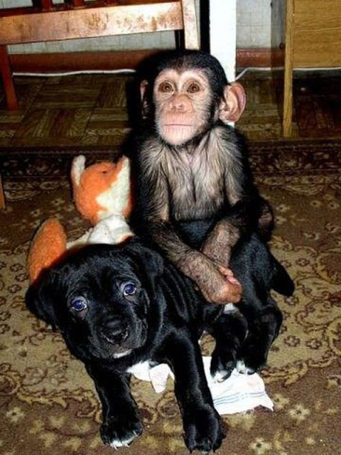 Puppy and Chimp